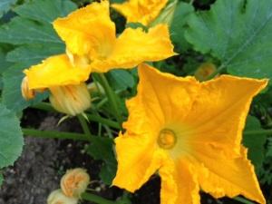 Kesäkurpitsan kukat